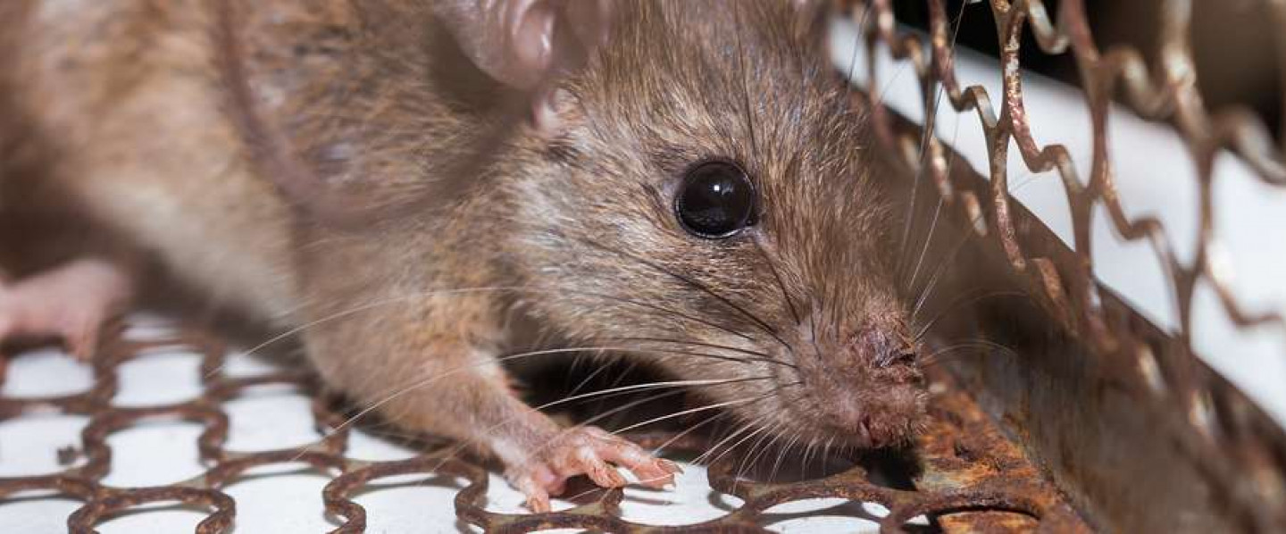 rodents in your home